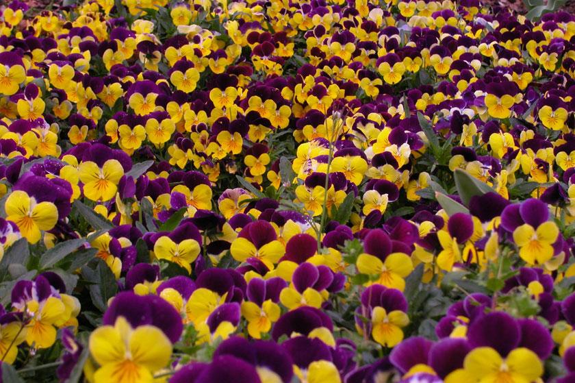 Pianta-di-Viola-a-fiore-piccolo-4.jpg